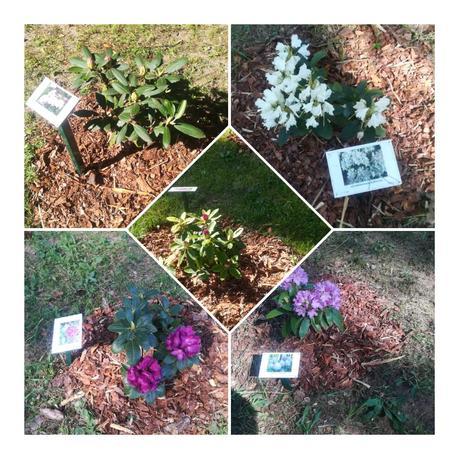 Rododendru dārzs plaukumā